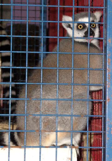 fair-lemur.jpg