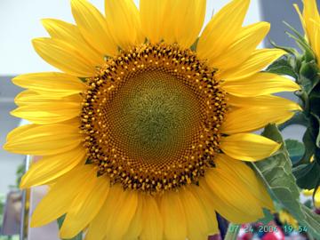 fair-sunflower.jpg
