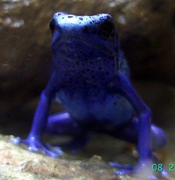 bluefrog.jpg