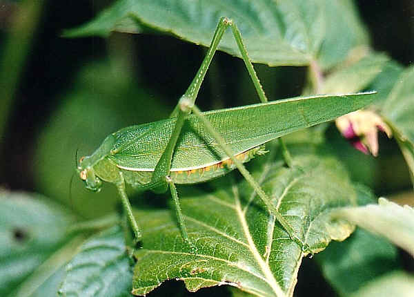 Male Katydid